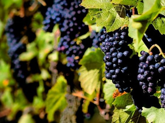 Rioja Alavesa / Grape Harvest Festival