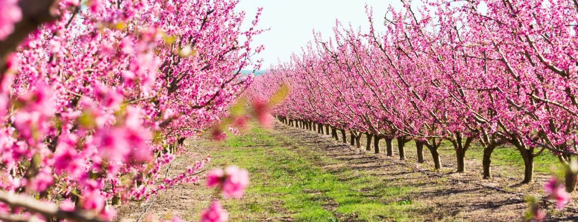 Cieza and its peach trees in bloom, something out of this world. | Shutterstock