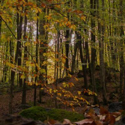 Fageda d'en Jordà, a volcanic beech forest in Garrotxa