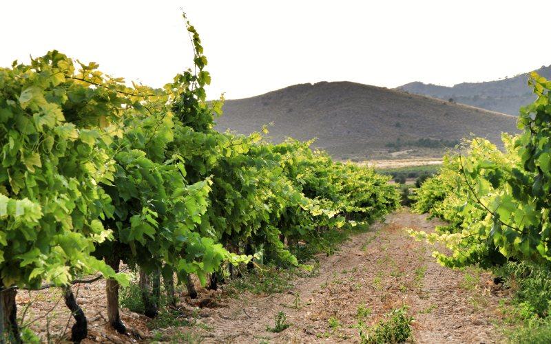 Vineyard in Murcia